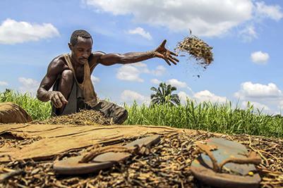 Une récolte de haricots au Congo