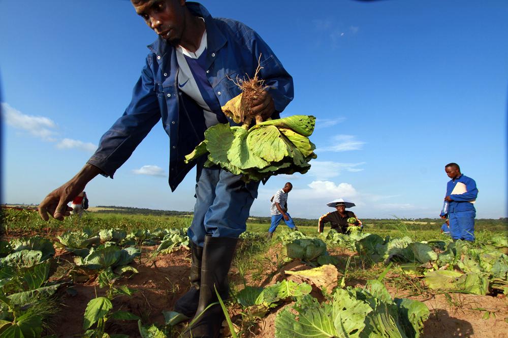 lentrepreneuse-et-ses-travailleurs-recoltent-des-commandes-de-legume-a-livrer-dans-des-hotels-de-pointe-noire_02_baudouin-mouanda