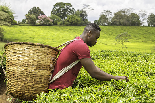 TEA IN KENYA